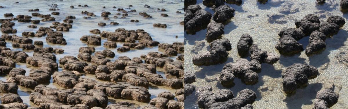 Estromatolitos vivos expuestos a la piscina Hamelin en Shark Bay, Australia Occidental. Las formas tempranas de vida microbiana en la Tierra pueden haber producido capas microbianas similares a estas en el tiempo de Arcaico.  Crédito de la imagen: Martin Schmieder