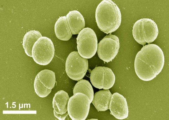 Cold- and salt-adapted bacterium Planococcus halocryophilus