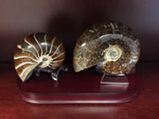 a fossil nautiloid and ammonite